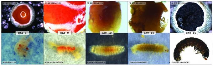붉은점모시나비 알 발육단계(1-16일차) - 홀로세생태보존연구소 제공