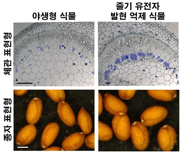 포스텍 연구진이 관다발 식물의 체관 발달에 관여하는 단백질 '줄기(JULGI)'의 발현을 조절한 결과(오른쪽), 자연 상태(왼쪽) 대비 식물의 열매가 최대 40% 늘어나는 것으로 나타났다. - 한국연구재단·포스텍 제공
