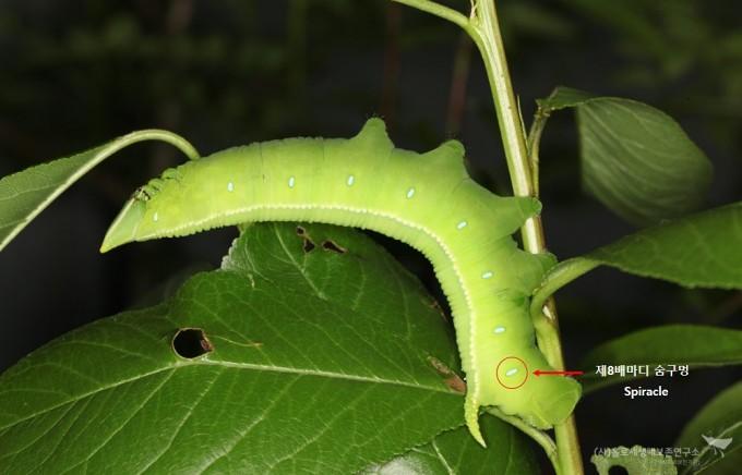 대왕박각시 애벌레 및 제8배마디 숨구멍 - 홀로세생태보존연구소 제공
