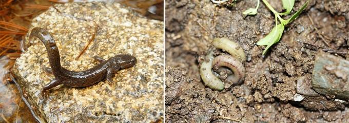 만인산에서 발견된 이끼도롱뇽.(좌) 아가미가 없어서 피부로 호흡을 하고, 대부분 아메리카 대륙에 분포하지만 우리나라에만 예외적으로 분포하는 생물종이다. - 이상철 제공 / 바이오블리츠 코리아 2018에서 처음으로 조사한 지렁이는 19종이 발견되었다. 땅 위로 나오면 용수철처럼 몸을 꼬는 특이한 행동을 하는 똥지렁.(우) - 홍용 제공