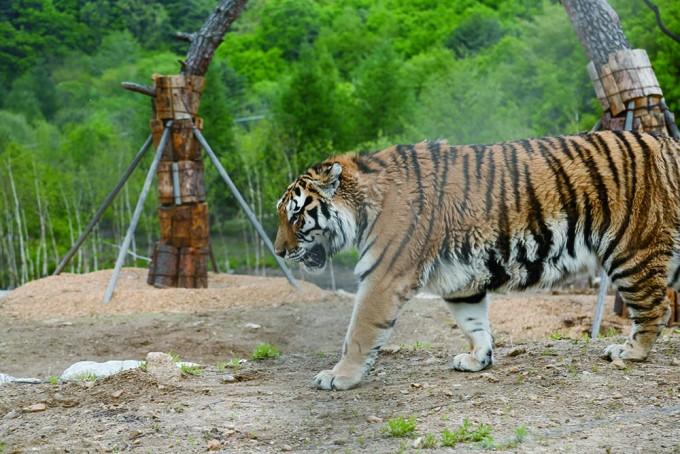 국립백두대간수목원의 호랑이 중 '한청'의 모습.13살 암컷으로 사람나이로 치면 50대 중년인 셈.