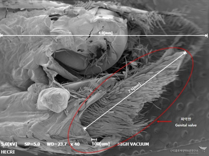 전자현미경으로 촬영한 생식기 파악판(Genital valve) 2.5mm - 홀로세생태보존연구소 제공