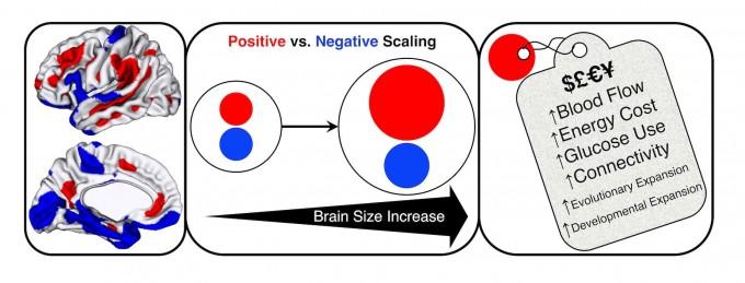 3000여 명의 뇌 MRI 데이터를 분석한 결과 뇌용량이 커질 때 뇌의 모든 부분이 비례해서 커지는 것은 아니라는 사실이 밝혀졌다. 즉 감정이나 감각, 운동을 관장하는 영역은 완만하게 커진 반면(파란색) 인지와 디폴트모드네트워크에 관여하는 신피질은 가파르게 증가했다(빨간색). 그 결과 뇌를 유지하는데 들어가는 대사 비용이 크게 늘어야 한다. -'사이언스' 제공