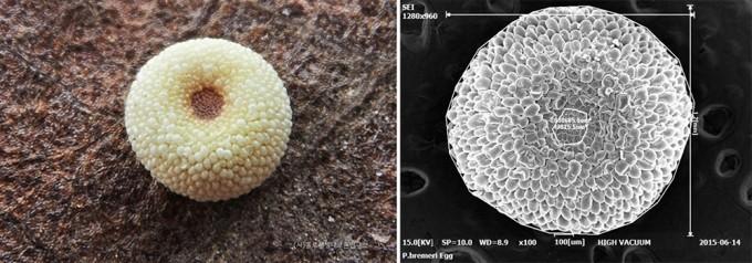 붉은점모시나비 알(좌), 주사전자현미경(SEM)으로 촬영한 알 - 홀로세생태보존연구소 제공