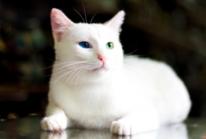 아킬레스와 같은 파란 눈의 터키시 앙고라종은 유전적으로 청각장애를 타고 나는 경우가 많다. - GIB 제공