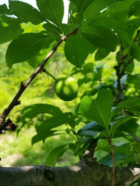 자두나무 - 홀로세생태보존연구소 제공