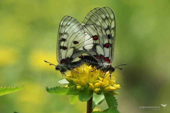 짝짓기 중인 붉은점모시나비와 기린초 - 홀로세생태보존연구소 제공