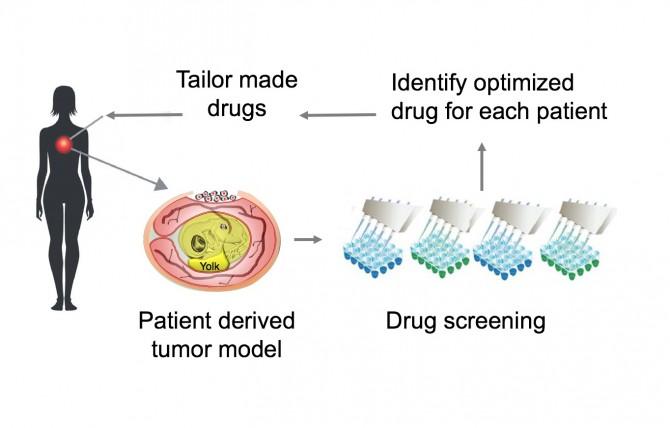 달걀암모델의 과정을 나타낸 모식도. 사람에서 뗴낸 종양세포를 달걀 배아에 이식해 배양한다. 달걀을 통해 배양한 종양세포를 이용해 항암제 효과등을 시험한다. 개인에게 맞는 항암제를 환자에게 투여한다-Kyoto University 제공