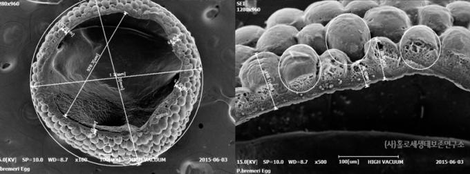 주사전자현미경(SEM)으로 촬영한 붉은점모시나비 알껍데기