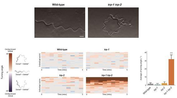 TRP-1,2 유전자에 돌연변이가 생긴 예쁜꼬마선충은 직진 운동을 하지 못한다. 자기수용감각이 무너졌기 때문으로 추정된다. -사진 제공 DGIST
