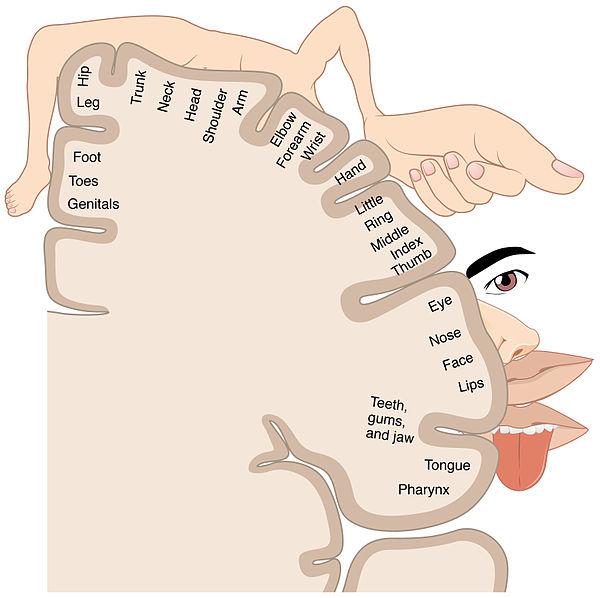 환상사지 현상은 체감각 지도로 설명할 수 있다. 예를 들어 손을 잃은 사람은 담당 영역에 정보가 입력되지 않으면서 인근 얼굴이나 팔죽지에서 오는 정보가 들어와 뇌가 이를 손에서 온 정보로 착각해 환상 손을 느끼게 된다. - 위키피디아 제공