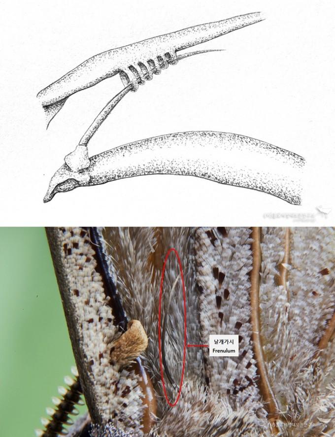 날개가시 그림(위), 날개가시 사진(아래) - 홀로세생태보존연구소 제공