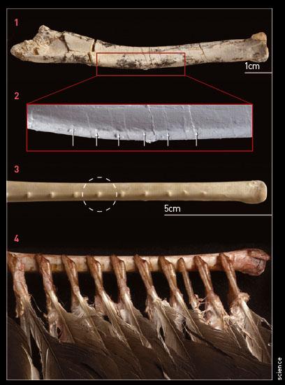 1. 벨로시랩터의 앞발뼈 </br>2. 앞발뼈 일부를 확대하면 깃털이 달려 있었던 돌기인 깃혹(화살표)을 확인할 수 있다. 깃혹은 현존하는 조류의 날개뼈에도 있어, 벨로시랩터에 깃털이 있었다는 증거이기도 하다 </br> 3. 독수리의 일종인 터키콘도르의 날개뼈에 있는 깃혹(점선 원)</br> 4. 깃털의 위치를 알 수 있도록 연조직만 해부했다.- science
