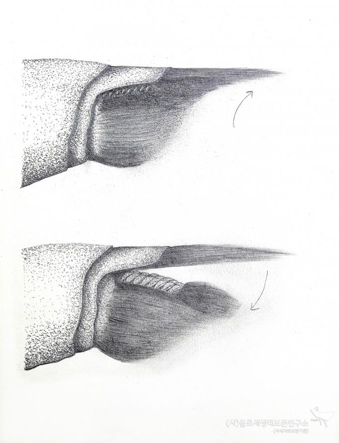 생식기 파악판 마찰 원리(그림) - 홀로세생태보존연구소 제공