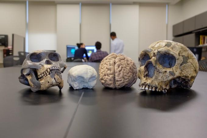 -인류 초기 조상(왼쪽)과 현생인류의 두개골과 뇌 모형. -사진 제공 시카고대