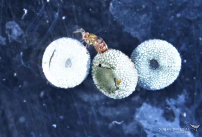붉은점모시나비 알에서 우화하는 알벌류 - 홀로세생태보존연구소 제공