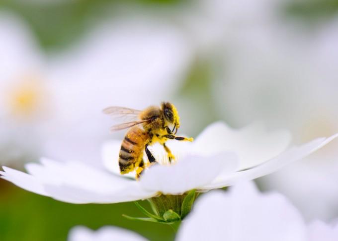 꿀벌 - GIB 제공