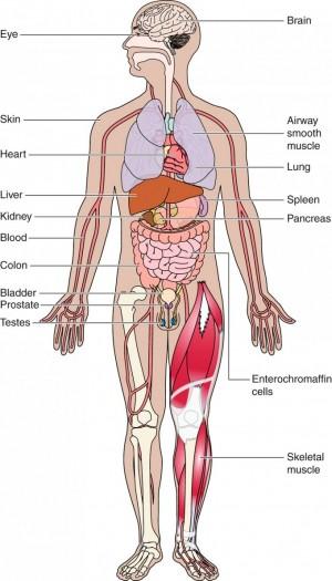 후각수용체 유전자의 다수가 코(후각상피)뿐 아니라 몸의 여러 조직에서 발현되고 다양한 기능을 한다는 사실이 밝혀졌다. - '생리학 리뷰' 제공