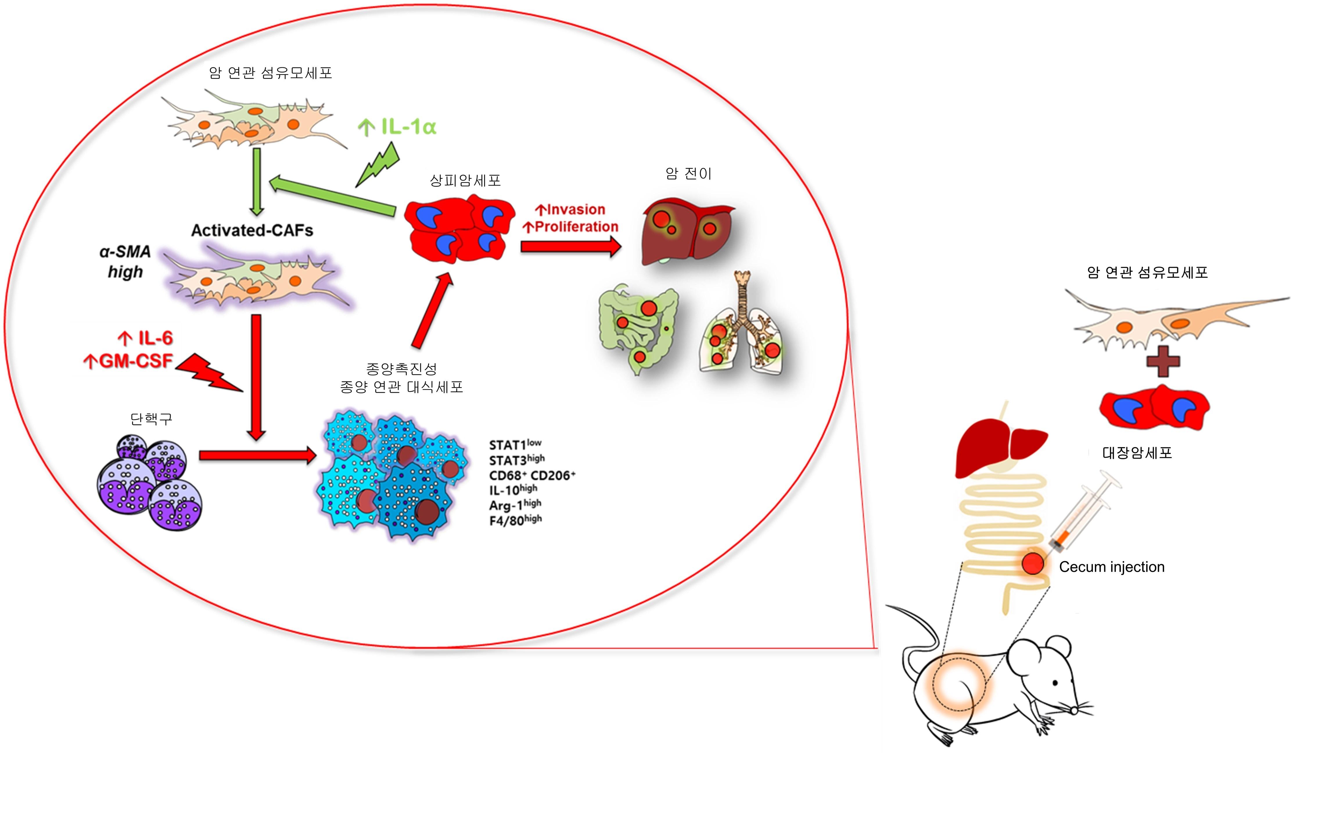 암세포, 대식세포, 섬유모세포 사이의 신호교환에 의한 암전이 촉진 과정 암세포 주변에 존재하는 섬유모세포(CAF)는 암세포가 분비하는 IL-1α에 의해 활성화되어, 수용성 인자들의 분비가 촉진됨. 그 중, 인터루킨-6와 GM-CSF는 단핵구가 대식세포로 분화되도록 유도하고, M2형 대식세포로 활성화시킴. M2형 대식세포는 암세포의 성장과 전이를 촉진함. - 한국연구재단