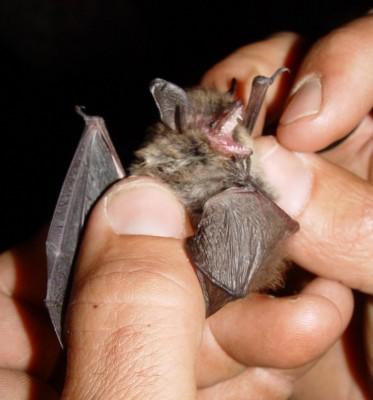 에볼라 바이러스의 감염유전자 활용하는 박쥐종 발견