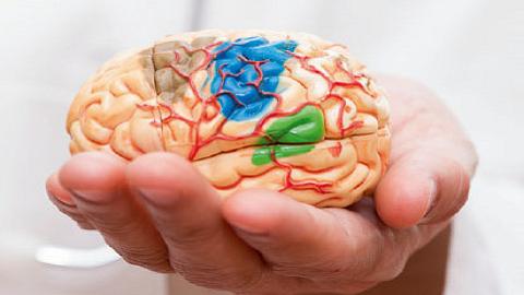 미니 뇌 진짜 만드나?...신경세포 기본 요소 갖춘 '뇌 오가노이드' 최초 제작