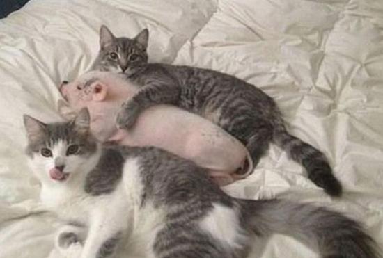 다정한 새끼 돼지와 고양이들