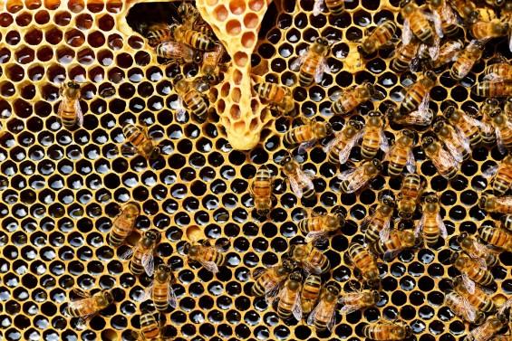 꿀벌이 새 여왕 뽑는 기준은 가족보다 '왕족'