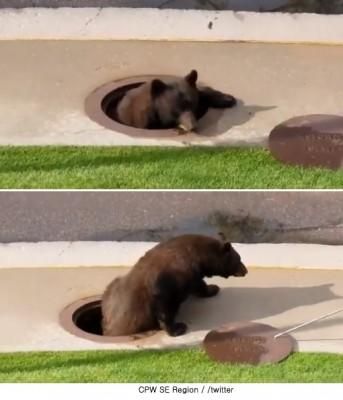맨홀에서 기어 나온 곰