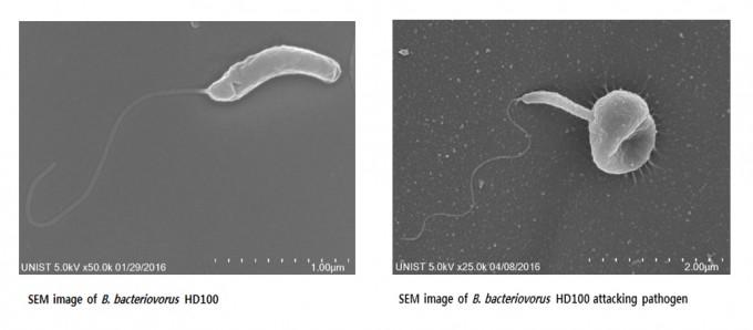 주사전자현미경(SEM)을 이용해 벨로가  다른 세균을 공격하는 모습을 촬연했다. -UNIST 제공
