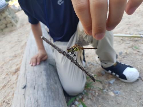 깃동잠자리는 날개 끝에 있는 갈색의 깃동무늬가 특징이다. (출처 : 지구사랑탐사대 별사랑 팀)