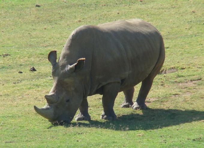 미국 샌디에이고야생동물원에서 생활하다 2014년 죽은 수컷 북부흰코뿔소 앙갈리푸의 모습이다.-위키피디아 제공