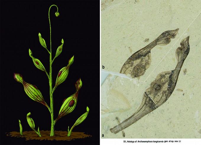 식충식물 사라세니아의 조상으로 추정되는 아르카에암포라의 상상도(왼쪽)와 화석(오른쪽). - Mariana Ruiz(W)/Acta Botanica Gallica 제공