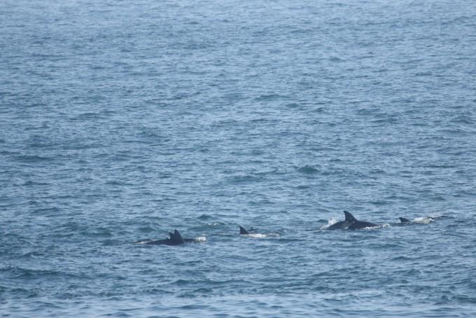 방류 5주년이던 18일, 제주 대정 앞바다에서 발견된 춘삼이. 오른쪽 두 번째 돌고래가 춘삼이다. 바로 옆에 새끼가 보인다. -사진 제공 하정주