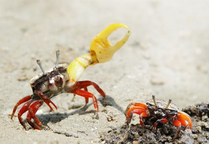 집게의 크기 - 암컷은 수컷의 집게가 클수록 매력을 느낀다. - Chinmayisk(W) 제공