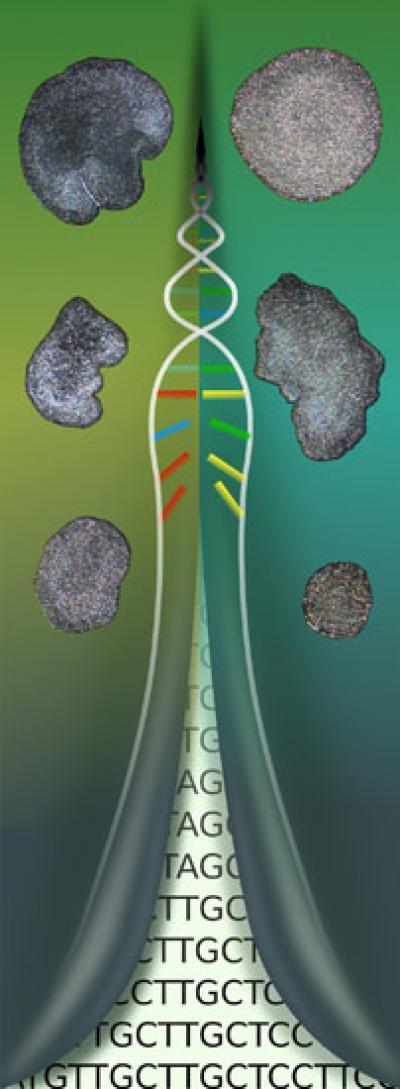 히스톤단백질의 유전자 분석 결과, 판형 동물은 단일종이 아니며, 두개의 속으로 나뉘고 이에따하  두 개의 종으로 구분할수 있다는 것이 확인됐다.-Fabian Deister and Hans-Jürgen Osigus 제공