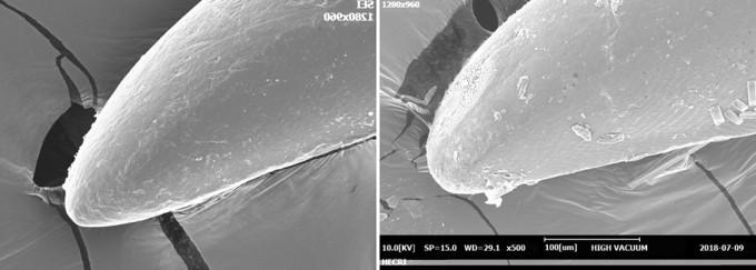 물장군 암(좌), 수(우) 발톱 - 홀로세생태보존연구소 제공