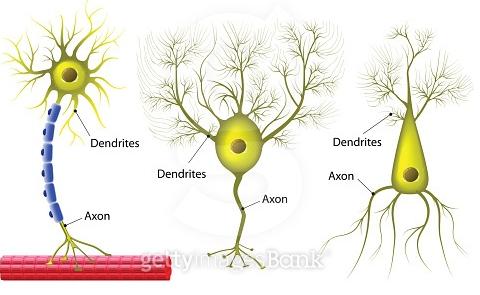 왼족 그림은 일반적인 신경세포로 근육과 연결된 운동 신경세포(뉴런)모습이다. 신경세포에는 신경세포체와 축삭돌기(axon), 수상돌기(dendrite)로 구성된다. 축삭에는 신호를 빨리 전달하도록 돕는 수초박(파란색)이 형성돼있다. 축삭돌기와 수상돌기에 갯수와 방향 등에 따라 중간부터 차례로 펀킨제(purkinje)세포, 피라미드형세포 등 종류가 다양한다.-위키백과 제공
