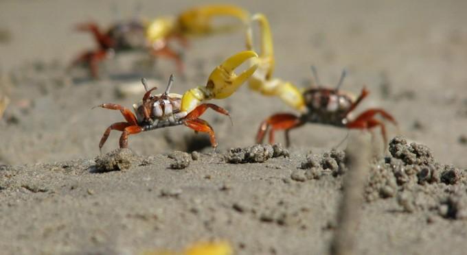 구애춤은 주로 물이 가장 많이 밀려왔다 나가는 사리 무렵에 이뤄지며, 암컷은 다음 사리쯤 알을 낳는다. 이는 새끼들이 포식자에게 먹히지 않도록 하는 전략이다. - ANU 제공