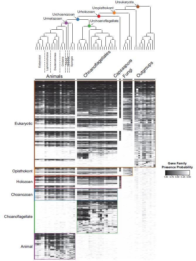 진핵생물에서 유전자 진화를 보여주는 데이터로 동물의 가장 가까운 친척이 깃편모충류(Choanoflagellate)임을 알 수 있다. 최근 동물 고유의 유전자로 알고 있던 370여 가지를 동물과 깃편모충류의 공동조상(Choanozoan. 파란색)이 이미 지니고 있었다는 사실이 밝혀지며 동물 다세포성의 기원에 대한 새로운 시각을 제시하고 있다. - 'eLife' 제공