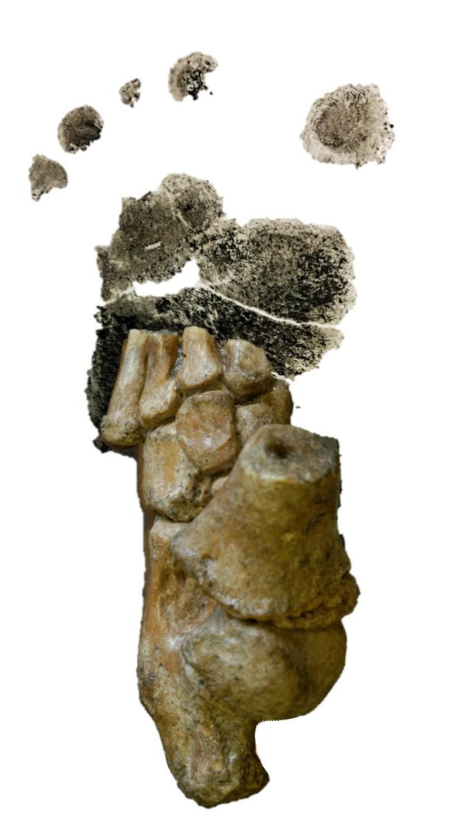 미국 다트머스대 연구팀이 재발굴해 구조를 밝힌 330만 년 전 오스트랄로피테쿠스 3세 유아의 발 뼈. -사진 제공 사이언스 아드밴시스