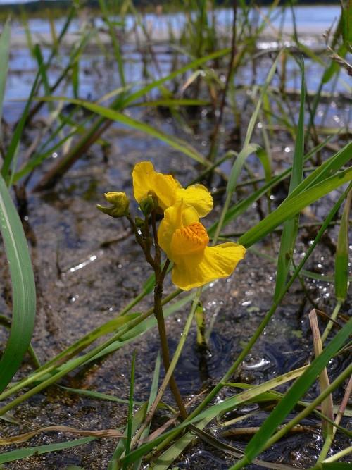 통발식물 - 위키피디아 제공