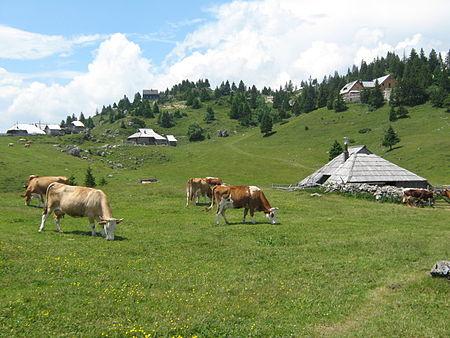 오늘날 사육되는 소 가운데 8%만이 타고난 생리에 맞게 풀만 먹고 산다. 만일 지구촌의 소 15억 마리 모두에게 이런 환경을 마련해주려면 육지를 전부 초지로 바꿔야 할 것이다. 동물복지를 위해서는 가축의 수를 줄여야 하고 결국 육류소비량을 줄어야 한다는 말이다. - 위키피디아 제공