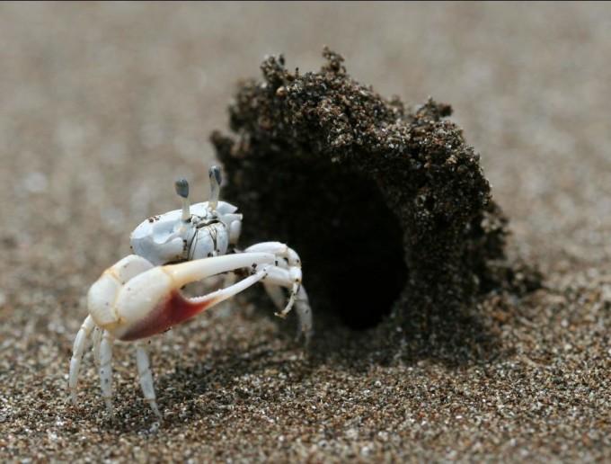 굴의 튼튼함 - 암컷이 구애춤을 보고 찾아오면 수컷은 미리 지어 놓은 굴속으로 안내한다. 암컷은 수컷을 따라 들어가 굴의 튼튼함과 크기를 평가한다. - VaVaV ssar College 제공