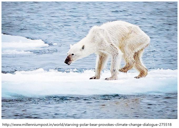 얼음이 녹아서 먹이가 부족한 북극곰