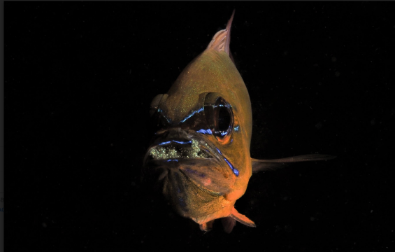 [팔라우 힐링레터] 바다생물의 지극한 부성애, 카디날 피쉬의 구강포란