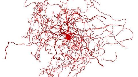 뇌에서 발견한 인간 진화 흔적 '장미열매 신경세포'