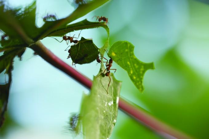농사의 신이라 불리는 잎꾼개미가 큰 턱으로 나뭇잎을 오려내 운반하고 있다. - 전종윤 연구원 제공