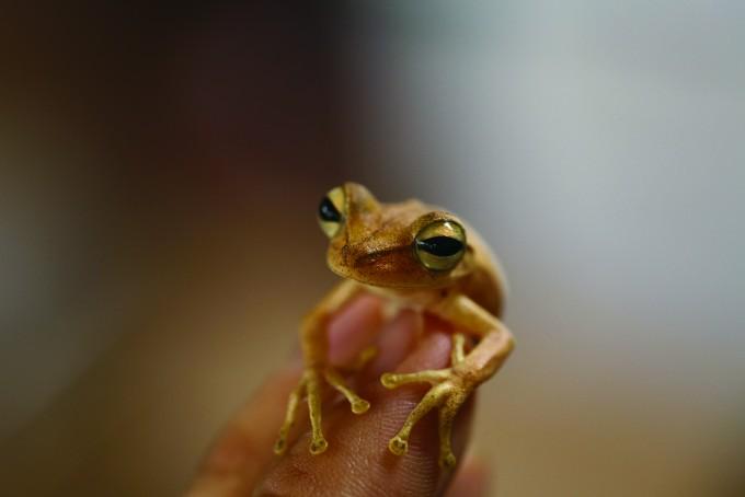 초롱초롱한 눈망울이 인상적인 얼룩무늬나무개구리가 자그마한 발가락을 가지런히 펼치고 있다. - 전종윤 연구원 제공