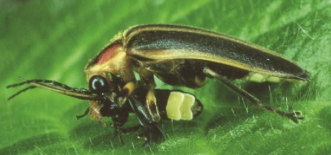 포투리스(Photuris)속의 암컷 반딧불이가 포티누스(Photinus)속(屬) 수컷 포식 장면 -Lewis, Sara M. and Christopher K. Cratsley. (2008)