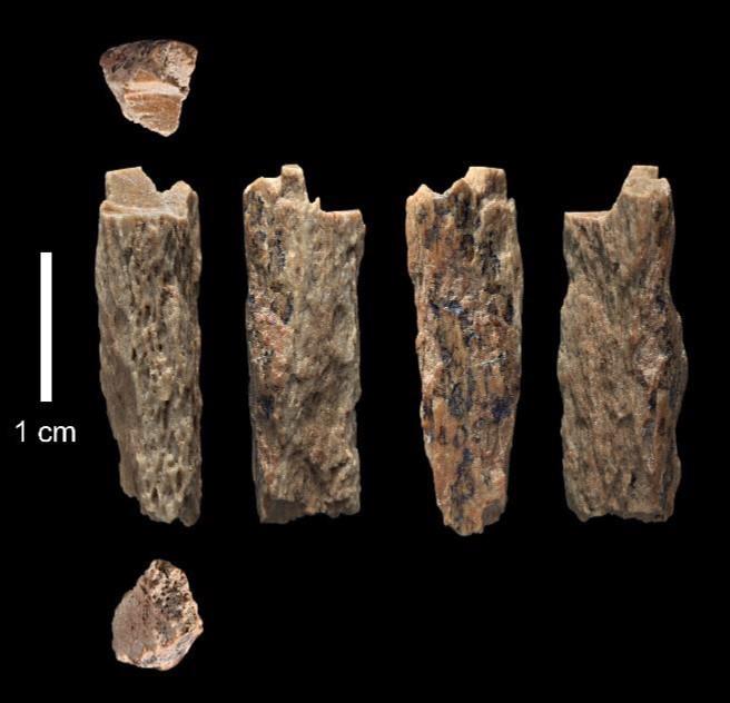 2012년 러시아 고고학자들이 발견한 뼛조각들 - 독일 막스플랑크연구소 제공
